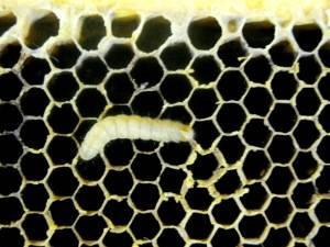 личинка восковой моли фото