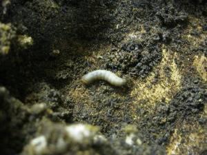 личинка восковой моли и пжвм