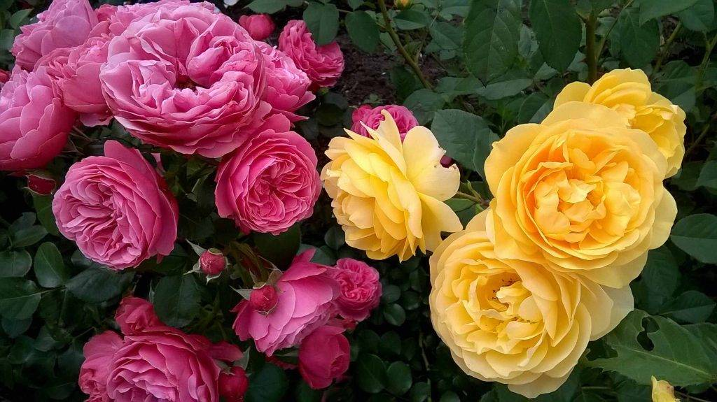 розы для бальзама